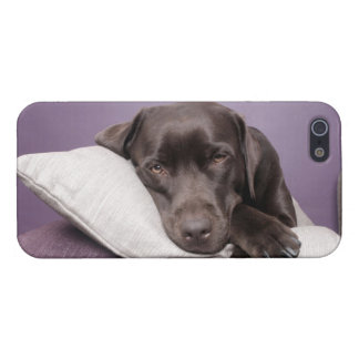 Chocolate labrador retriever dog sleepy on pillows iPhone 5 covers