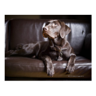 Chocolate Labrador Retriever Postcard
