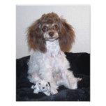 Chocolate Parti Poodle with toy Print