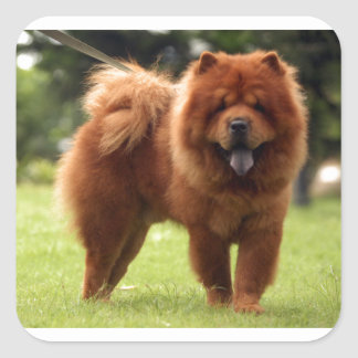 Chow Chow Dog Poses Square Sticker