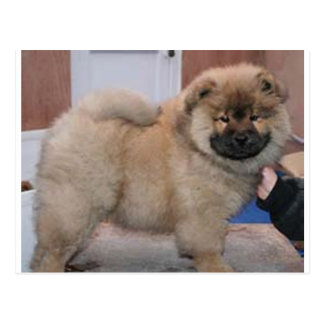 chow chow pup.png postcard