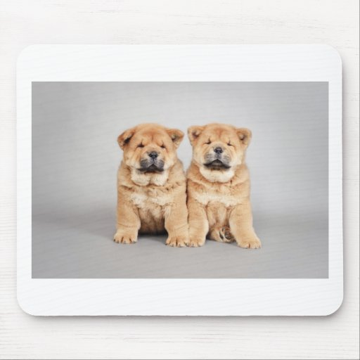 R Chow Chows Mean Chow chow puppies | Za...