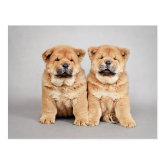 Chow chow puppies postcard