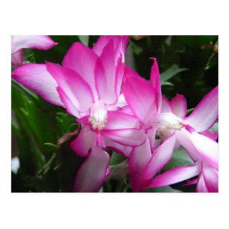 Christmas Cactus Flowers Postcard