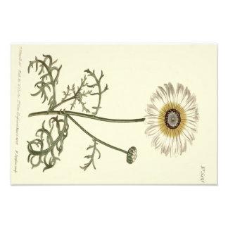 Chrysanthemum Tricolor Yellow Illustration Photo Print
