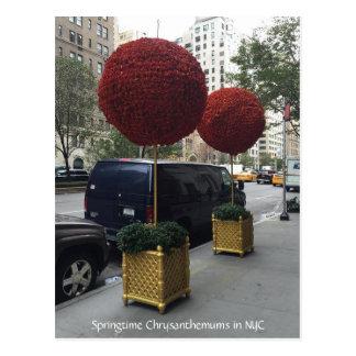 Chrysanthemums downtown New York City Postcard