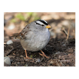 Chubby White-Crowned Sparrow in the Winter Sun Postcard