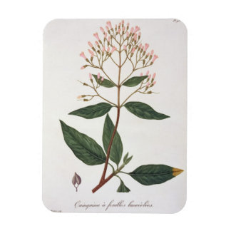 Cinchona from 'Phytographie Medicale' by Joseph Ro Rectangular Magnet