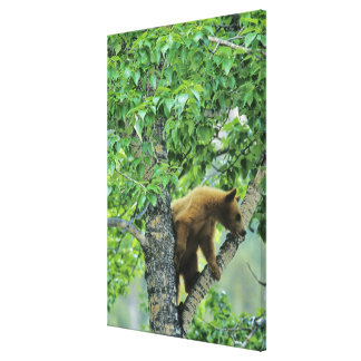 Cinnamon colored black bear in aspen tree in canvas prints