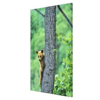Cinnamon colored black bear in tree in canvas prints