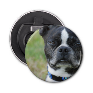 Classic Boston Terrier Dog