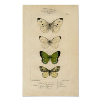 Classic Zoological Etching - Butterflies Poster