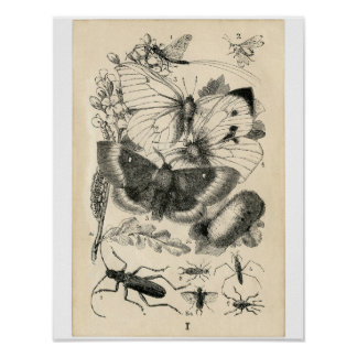 Classic Zoological Etching - Insects Poster