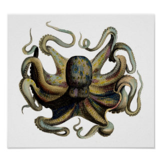 Classic Zoological Etching - Octopus Poster