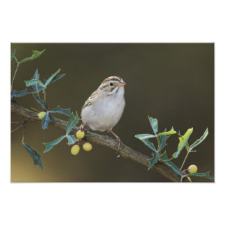 Clay-colored Sparrow, Spizella pallida, adult Photo Print