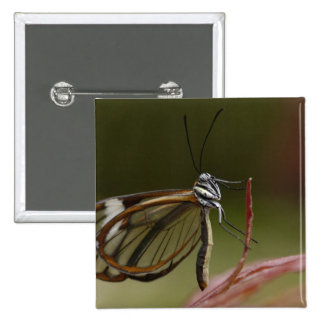 Clear-winged Butterfly Hyalurga sp ?) Cloud 2 15 Cm Square Badge