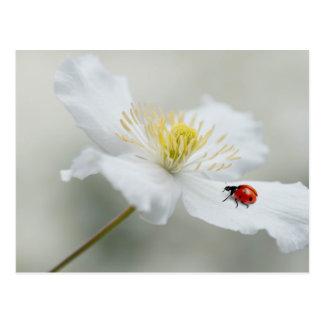 Clematis montana with ladybird postcard