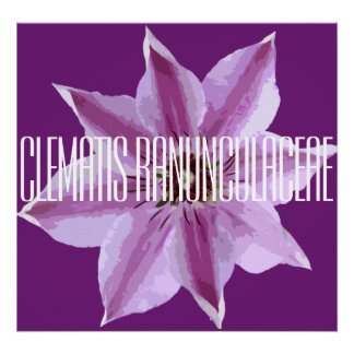 Clematis Ranunculaceae - Canvas Poster