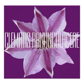 Clematis Ranunculaceae - Poster (Matte)