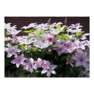 Clematis Vine Posters