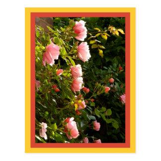 Climbing roses coral postcard