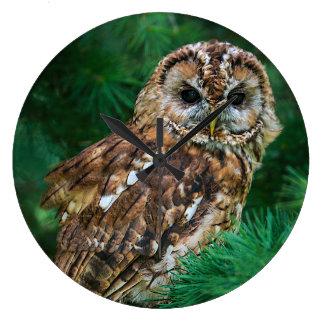Clock tawny owl in a fir tree