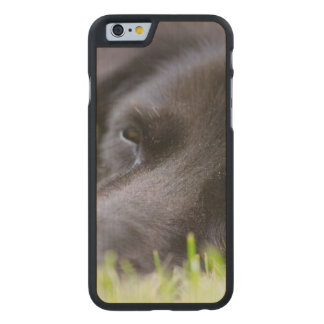 Close Up Black old dogs face with selective focus Carved® Maple iPhone 6 Case
