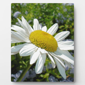 Close Up Common White Daisy With Garden Plaque