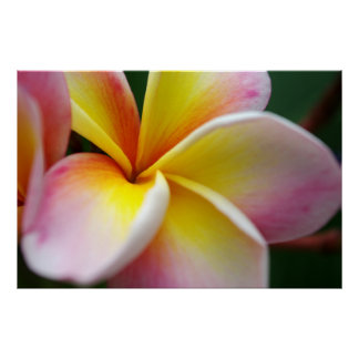 Close up Frangipani Poster
