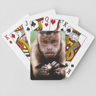 Close-up of a black-capped capuchin monkey playing cards