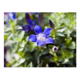 Close-up of a blue gentian flowerhead. postcard