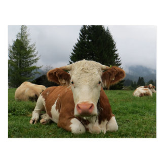 Close up of a brown and white cow laying down postcard