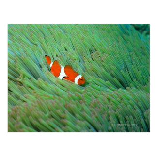 Close up of a clown anemone fish, Okinawa, Japan Postcard