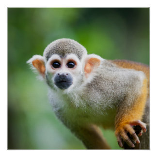Close-up of a Common Squirrel Monkey Poster
