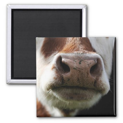 close up of a cow magnets