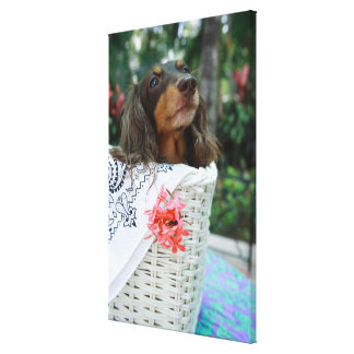 Close-up of a Dachshund dog sitting in a basket Canvas Print