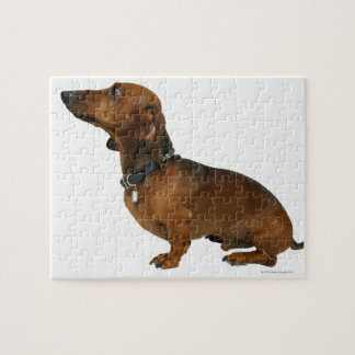 Close up of a dachshund puzzles