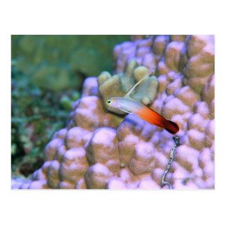 Close up of a fire dart fish, Okinawa, Japan Postcard