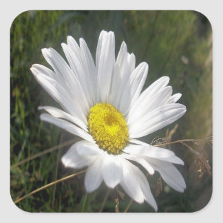 Close Up of a Marguerite Daisy Flower Square Sticker