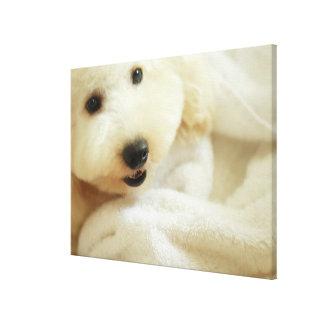 Close-up of a miniature poodle 2 canvas print