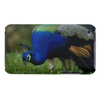 Close-up of a peacock iPod touch Case-Mate case