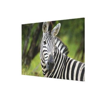 Close-up of a Plains zebra (Equus burchellii) in Canvas Print
