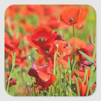Close-up of a Poppy field, France Square Sticker