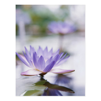 Close-Up of a Purple Water-Lily Floating on Postcard