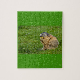 close-up of a sociable marmot on puzzle