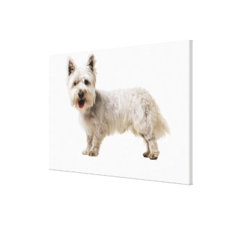 Close up of a terrier stretched canvas print