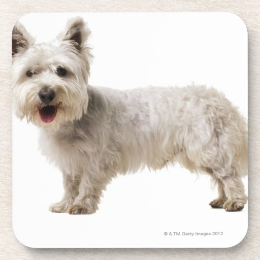Close up of a terrier beverage coasters