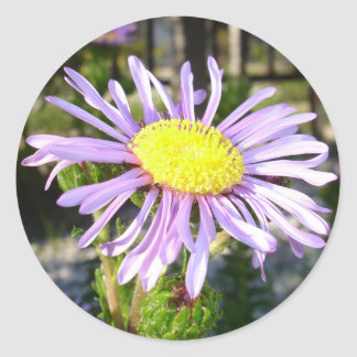 Close Up of A Violet Aster Flower Spring Bloom Classic Round Sticker