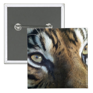 Close up of an adult male Sumatran Tiger 15 Cm Square Badge