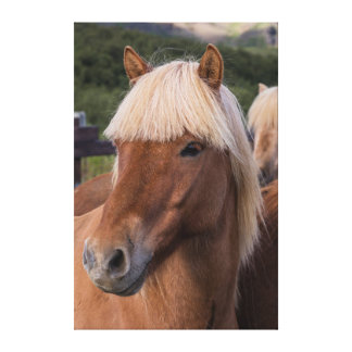 Close up of an Icelandic horse Gallery Wrapped Canvas